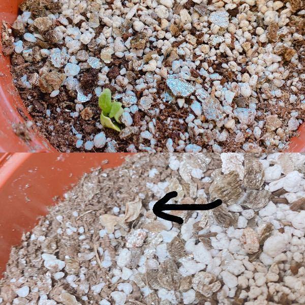 室内でも育てられるミニひまわりなのですが 最初は綺麗な緑の芽が出てくれたのですが もう今は枯れて?しまってます、、 何がいけなかったのでしょうか、 そしてこれは戻るのでしょうか。