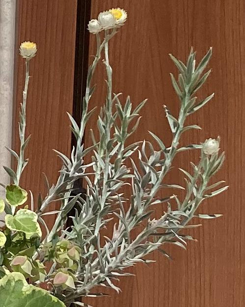 この植物の名前を教えてください。 シルバーリーフ?で、真ん中が黄色いカサカサした白い花を咲かせています。