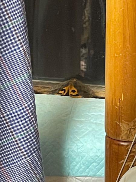 これなんていう蛾ですか?