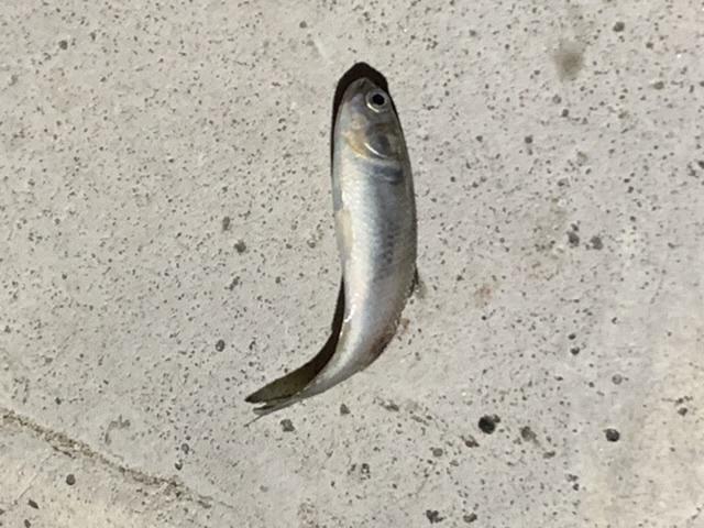 大量に湧いていた小魚 東京湾奥ですが、昨晩、大量に小魚が湧いていて、それをシーバスらしき大きい魚が追い回していました。小魚のサイズは5cm程度です。 この追いかけ回されていた魚は何の稚魚ですか? ちなみに数千、数万単位でいました。