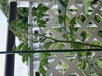 ミニトマトを栽培中です。 わき芽は取ってるのですがてっぺんはどうしたらいいのでしょうか。 写真に載せましたがこの中にわき芽ありますか?どれだか分からなくて詳しい方お願いします