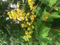菩提樹と聞いている落葉樹ですが、はっきりしません。解る方教えて欲しいです。この時期6月には黄色の花が咲きます。 秋にはホウズキの形をした実の中に黒い種が出来ます。
