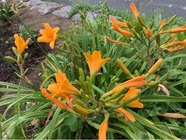 この花の名前を教えてください。 カンゾウとは違うのでしょうか?