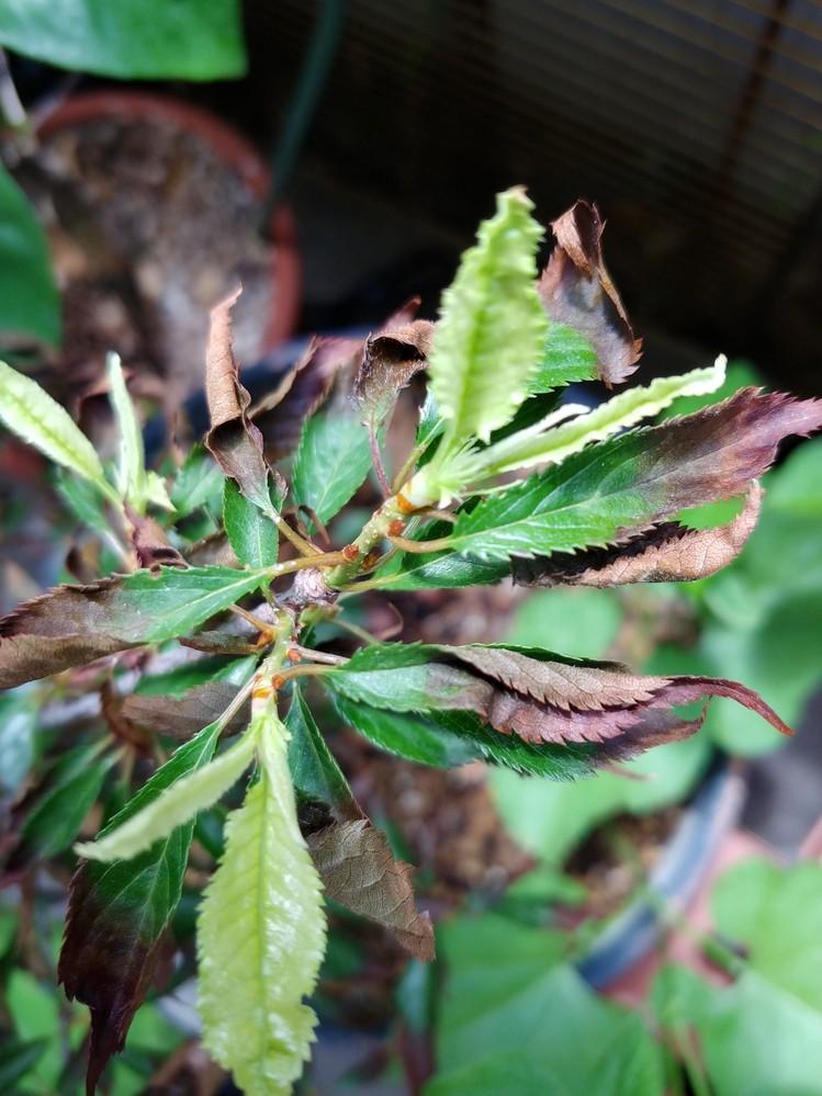 富士桜の苗を4月の中旬頃に買って ベランダで鉢植えで日当たりの良い場所に 植えていましたが、1ヶ月前位から刃先から 黒っぽくなってきて 現在では写真のようになっています。 しかし、新芽も出ていますが 薄い緑色です。 これは病気でしょうか? 対策はありますでしょうか? 水は毎日夕方に与えています。 乾いてから与えた方が良いのでしょうか? どうぞ宜しくお願いいたします。
