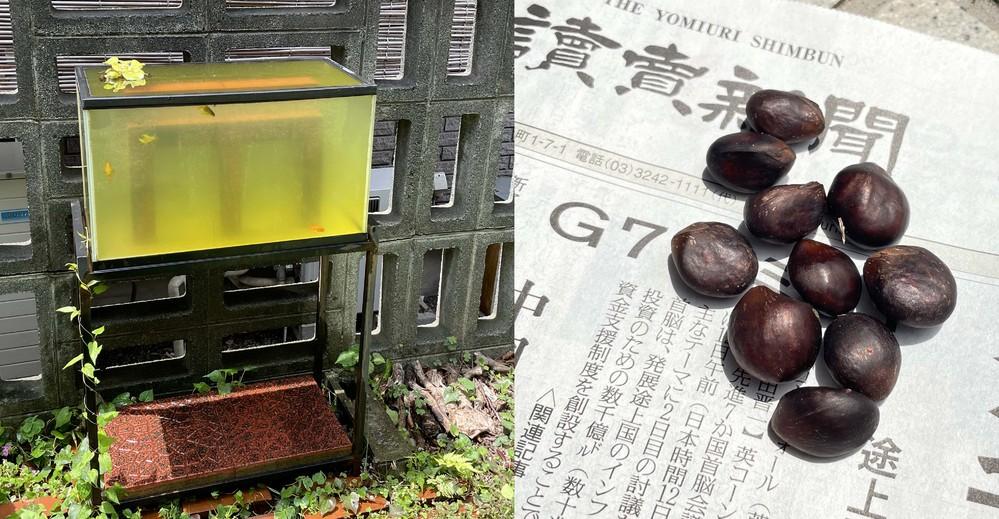 我が家の庭に置いてある水槽で、たびたび起きる謎の事件について、どなたか解明していただきたく、お願いいたします。 写真の左のとおり、庭で水槽を野外設置しています。中には金魚がいます。緑がかった水の...