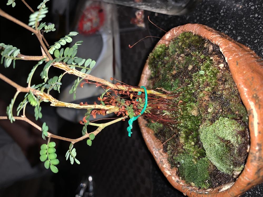 赤い植物の名前はなんですか? 水をあげるとくるっと回転します よろしくお願いします