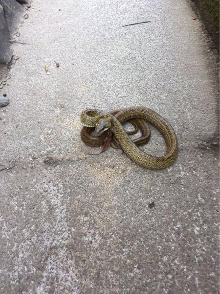 このヘビの種類を教えてください。