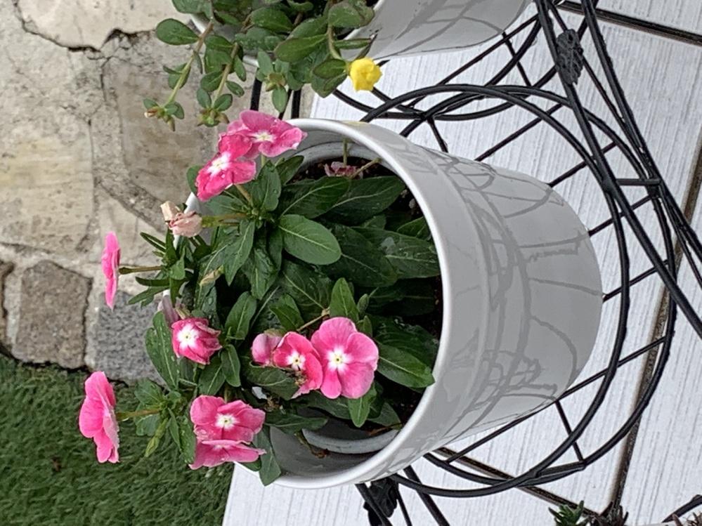 2週間くらい前に買った鉢に入ったお花です。 なんという名前のお花か忘れてしまいました。 教えてください。