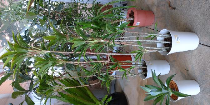 この長い植物の名前を教えてください
