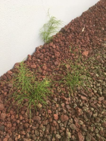 この雑草の名前を教えて下さい。