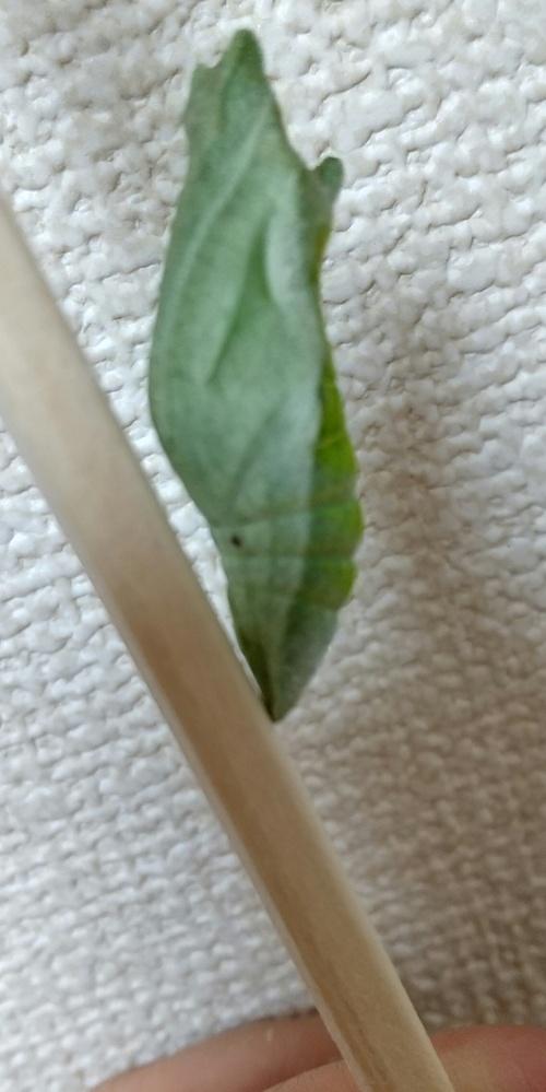 このアゲハの蛹は寄生されているでしょうか?昨晩凄く動いていました。