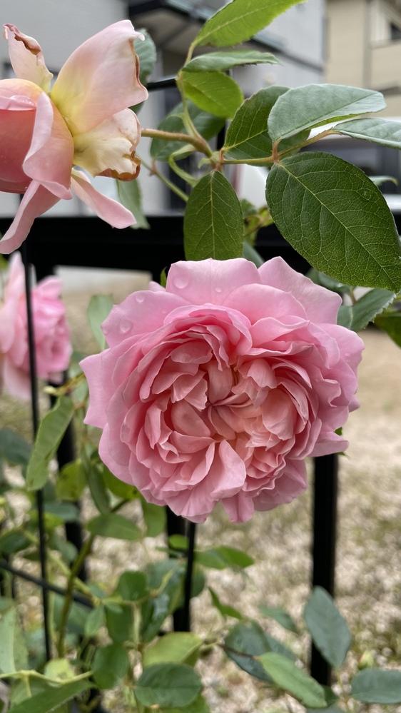 我が家に咲いてるこちらのバラの名前がわかりません。 特徴としまして、細い枝でしなやかです。 色はピンク~サーモンピンク。 香りは強香。葉は黄緑。 よろしくお願いします。