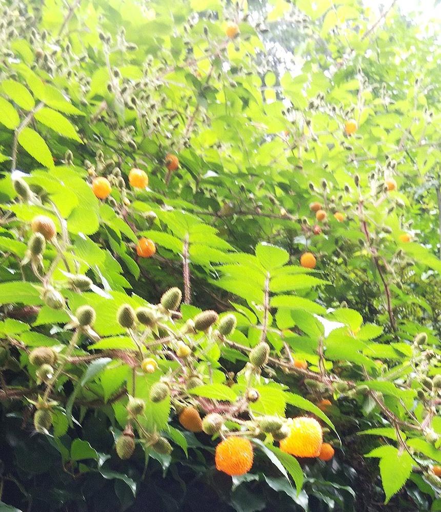 この木苺の名前を教えて下さい。 山に生えていてオレンジ色の実がなっている木です。 果実の大きさはクサイチゴの倍以上、中は大きな空洞があり、採るときに力が入り過ぎるとぺったんこになります。 味は...