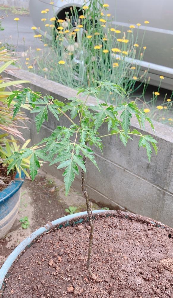 庭に自生した雑草?木?について、何という名前の植物か教えてください。 母が紅葉が自生したと言っていたのですが、この度よく見たら紅葉ではなさそうでした。 何という植物か分かる方、お教えください。