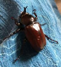 カブトムシの蛹が成虫になりました。 とても身体が小さく(胴体部だけだと3cmもありません)、とても小さなツノがあります。 卵を子どもがもらい、初めて飼育するのでメスは小さく、小さいツノもあるものかと思ったのですが、調べるとやはりオスにしかツノはないようです。  この子はオスでしょうか?メスでしょうか? 雌雄型という突然変異もあるようですが、それなのでしょうか。  卵からここまで育ってくれたこ...