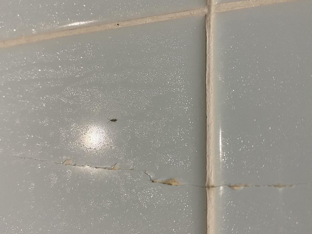 この虫の種類について。 この虫はなんという虫ですか? お風呂場にかなりいるのですが、ゴキブリの子供とはまた違うような感じがします。