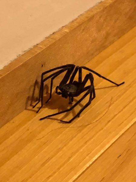 アシダカグモについて。今日の夜、こんな風に縮こまって歩いています。なぜでしょうか。家に餌がなく死にかけているのでしょうか
