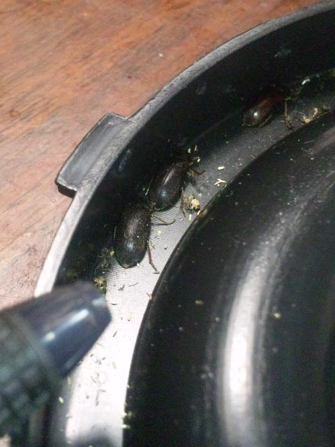写真の虫の名前をぜひ教えてください。 (写真にボールペンの先も一緒に写っていて、虫の全長は1センチ少々と思います) 一軒家で光に集める電気のコバエ取り機の受け皿にいました。 部屋の隅でも何匹かいました。 家のどこかで繁殖していると思うので、虫の習性や何か駆除の情報・ヒントもございましたら教えていただけると助かります。