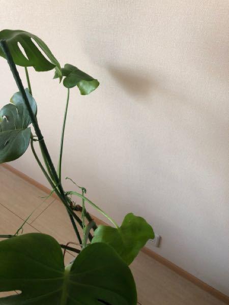 おはようございます。 モンステラです。 最近、芽が出るのは全て、葉が割れてません。少し割れていたり。 原因と改善方法を教えていただけますでしょうか。 よろしくお願いいたします。