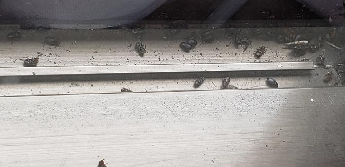 虫に詳しい方教えてください。この写真の黒くて小さい虫は何と言う虫でしょうか?ベランダの窓外側のサッシ部分に大量に死んでました。