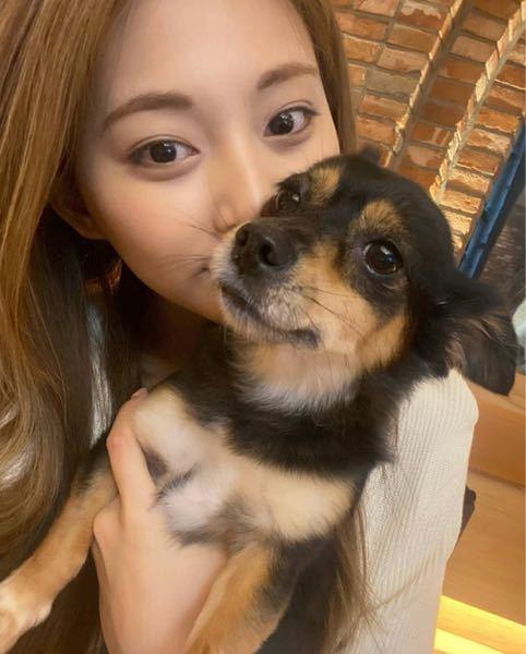 【大至急】ツウィちゃんが抱いているこのわんちゃんは何の犬種ですか?