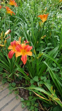 ゆりでしょうか?近くの団地の庭で満開です。 名前を教えてください。