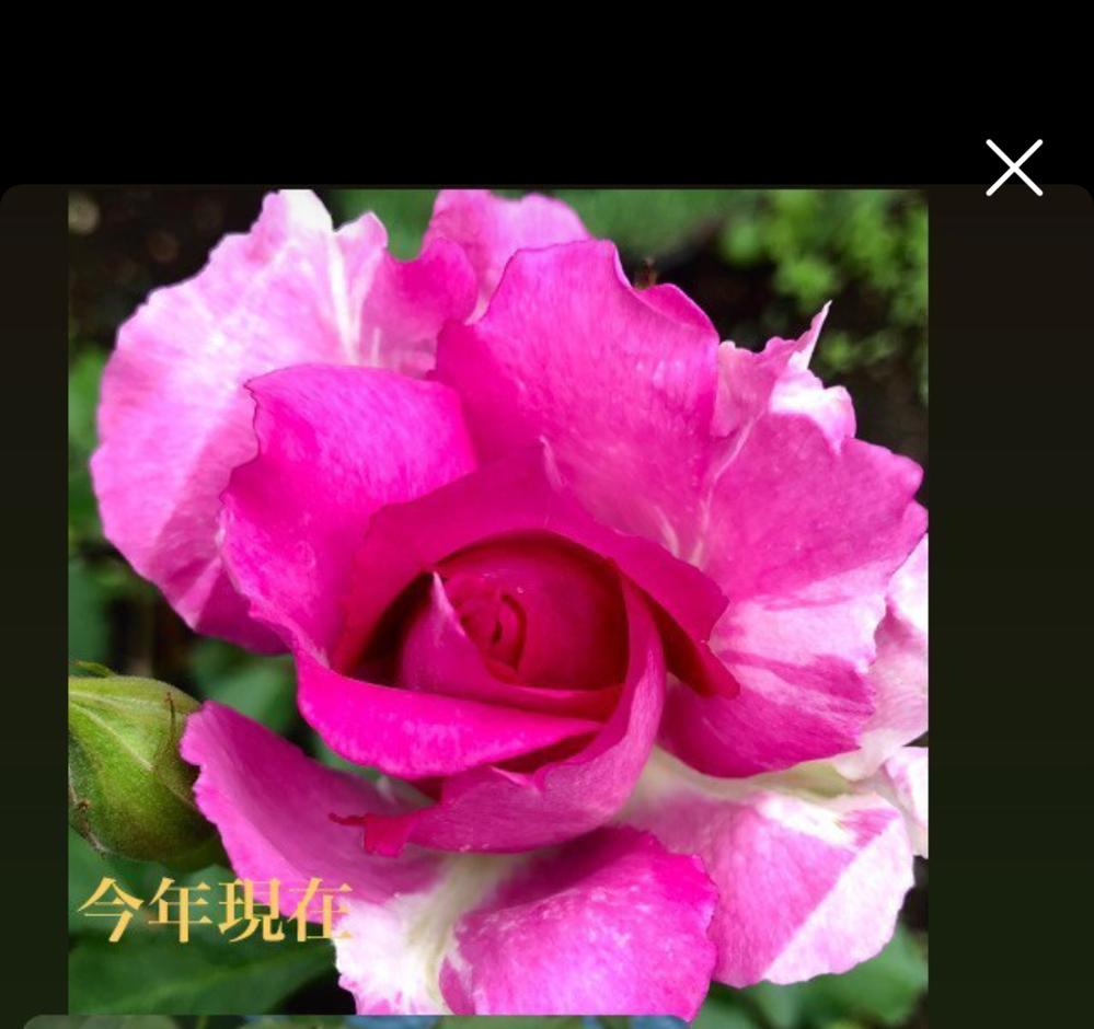 シエェラザードの花弁が写真のように咲きそうです。何が原因でしょうか?