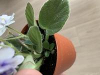 ミニセントポーリアの鉢を購入しました。 次々とお花を咲かせてくれて、可愛くてたまりません。 買ってきた時には土がかなり湿っていたのでずっと水をやっておらず、今日初めて水やりをしようと葉を持ち上げたところ、草のようなものがはえていました。 抜こうと思ったのですが、よく見るとセントポーリアの真ん中にある小さい葉とそっくりなのです。 短いうぶ毛のようなものもあり、厚みのある葉です。 これは...