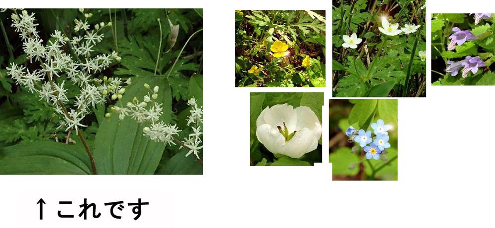 上高地で見かけたこの花は何でしょうか。 先日穂高岳に山登りに出かけた際に上高地で見かけた主な花を何種類か撮り、他は知っていたり調べてすぐ分かったものですが、これだけ分かりませんでした。 よろしくお願いいたします。 ちなみに分かっている方の写真も添付します(画像編集あり)。左上からミヤマキンバイ、ニリンソウ、ラショウモンカズラ、ヤマシャクヤク、エゾムラサキ。