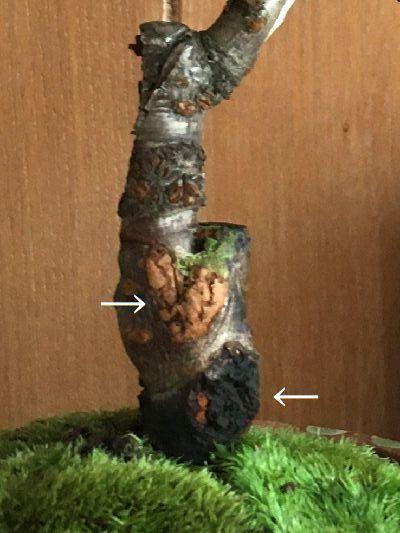 先日購入した「鉢植えの桜」について 先日、鉢植えの桜を購入致しましたが 幹の色が気になります。 接ぎ木部分の上部の茶色部分と、下の方の黒い部分は何かの病気でしょうか 色々と調べてみたのですが ...
