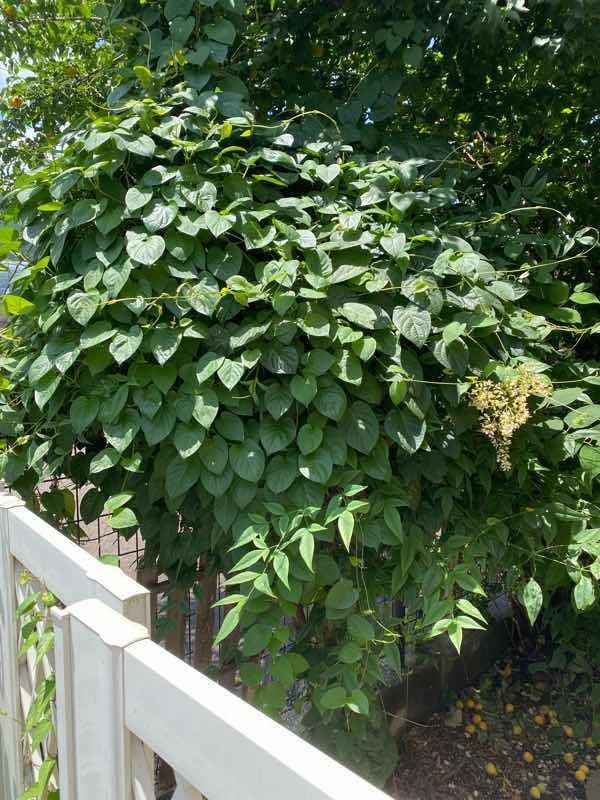 この低木?木はなんて名前ですか? 丸くこんもりしていて、足元の木の部分は茎は編んであります。