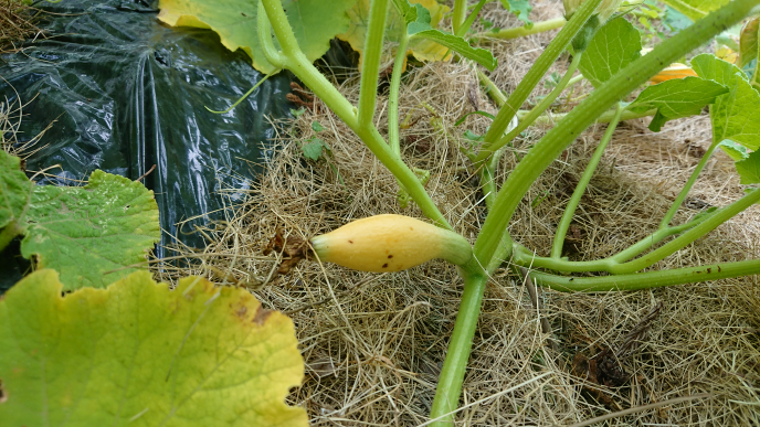 すくなカボチャの種を今年購入して育てています。花か咲き小さな実を着けたのですか黄色くなりました。腐ったみたいです。 対処法はありますか? 宜しくお願いします。