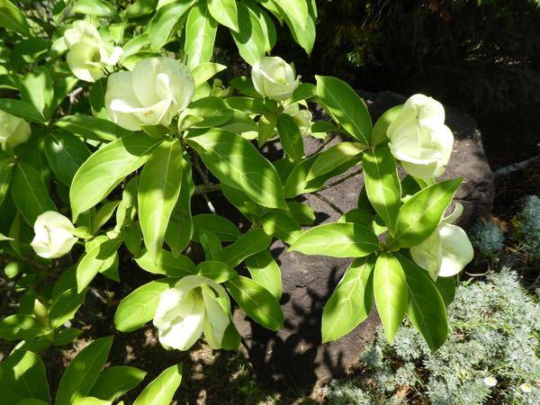 この花の咲く木の名前教えてください。