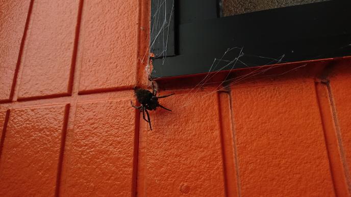 最近、急に玄関前に蜘蛛が表れました。まあまあ大きいです。これは何て言うクモで毒はないですか?