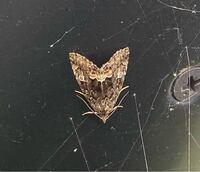 この蛾の種名を教えてください