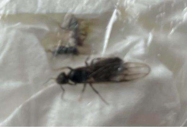 羽蟻?について、 最近になって窓枠にある金具の隙間から、写真のような虫が大量発生しています… シロアリかクロアリか判断がつかず、対処に困っております。 そこで、有識者の方に質問です。 ①.写真の虫はシロアリでしょうか、クロアリでしょうか? ②.シロアリの場合、もしくはクロアリの場合、業者に依頼するしか対処の方法はありませんでしょうか? 以上、ご回答をお願いいたします。