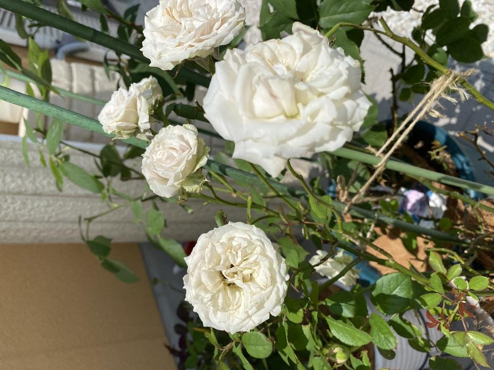 このバラの名前を教えてください。 全く名前がない状態で、ふた株購入しました。 バラによって育て方や仕立て方が違うとしり、自分なりに調べましたがわかりません。 よろしくお願いします。