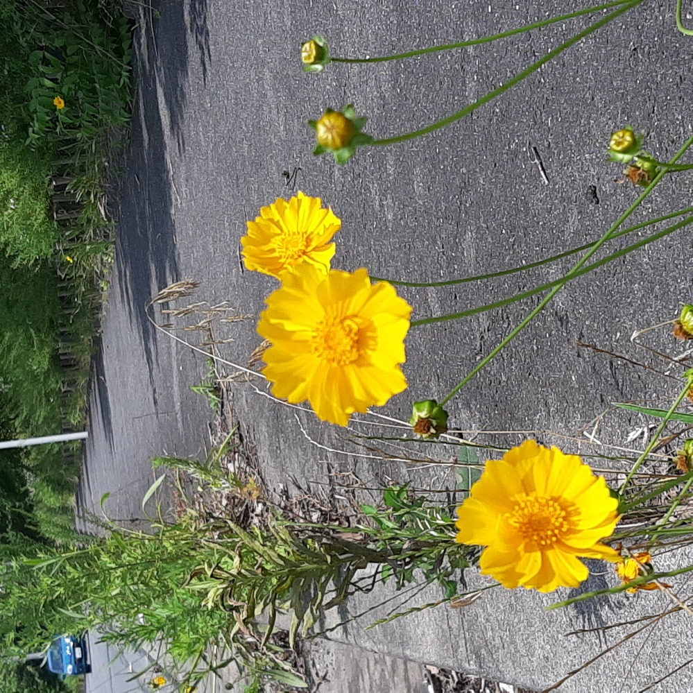 道端で咲いていたコチラのお花って何て言うお花でしょうか??? お花に詳しい方‼️ 教えてくださいm(_ _)m