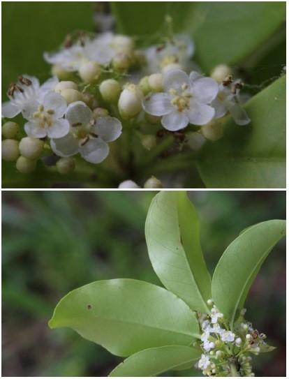 樹木の名前を教えて下さい。 「ソヨゴ」の雄花だと思いますがよろしくお願いします。