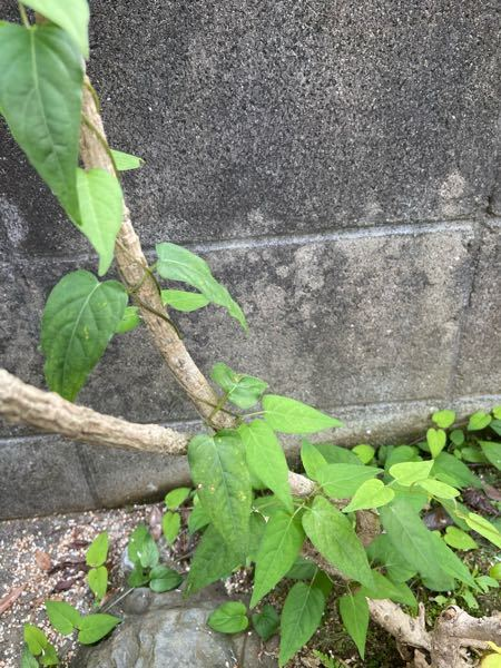 このつるは何という植物でしょうか。
