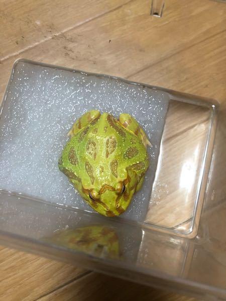 クランウェルツノガエルについてです、 写真のように右お腹あたりが膨れているようにみえます。これは脂肪ですか? それとも皮膚の病気とかでしょうか?? また触ると少し硬いような気もします。