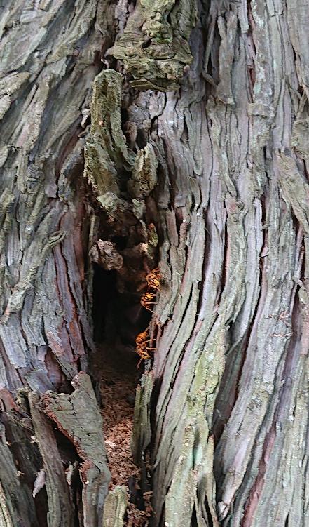 これは巣穴でしょうか? 家近くの木のうろに、やたらと蜂が出入りしていました。 中に入って口部分を動かし飛び出ていくことを繰り返しているので、樹液でも吸っているのかな、とも思うのですが…。 小さい子もおり、不安に思っています。 これだけでは分からないとも思いますが、詳しい方がいらっしゃったら教えて下さい ※知恵コインを忘れたので再掲載です。済みません。