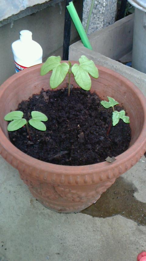朝顔の芽を間引きしたのですが、この位で3本とも大きく成長できるでしょうか。もう少し減らした方がよさそうでしょうか。