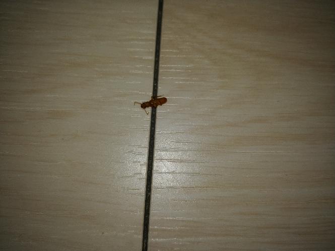 この虫が大量発生してます。 今は羽は取れて死んでます。 なんでしょう?