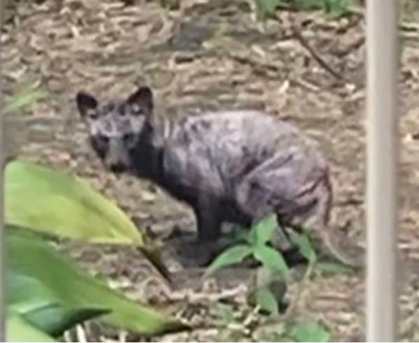 最近庭に現れてはずっとこちらを見てきます。 猫でも犬でも無いような気がします。この動物は何でしょうか?