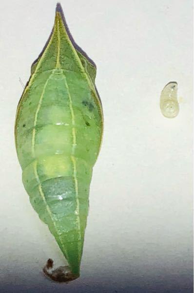 アオスジアゲハの手術をして 1匹幼虫が出てきたので安心して傷口を塞ぎましたが… お腹の白いの全て幼虫でしょうか…? どなたか手術経験ある方いらっしゃいませんか?
