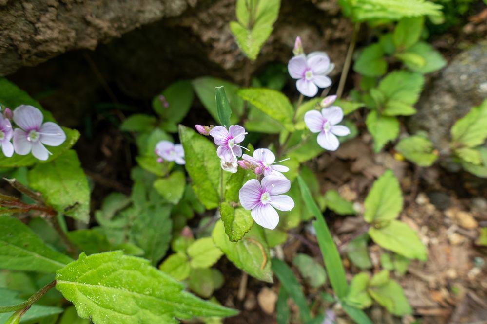 群馬県の山ですが、何の花でしょうか。 よろしくお願いいたします。