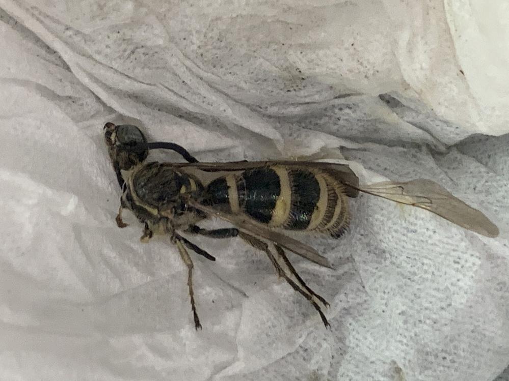 写真の蜂の種類を知りたいです。 現場のハウス周辺に飛び回っている蜂がいるのですが、ハウスの下が10〜20cmほどすき間があり、巣を作られた可能性があります。 たまたま部屋の中に入ってきた蜂を撃退しましたが、種類がよくわかりません。 すぐに駆除する予定ではありますが、危険な蜂であるかを知りたいです。 撮影時期は今日、埼玉県です。 よろしくお願いします。