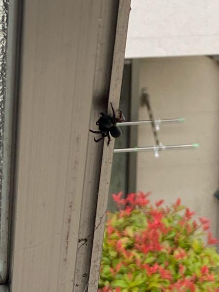 (グロ注意) 毎年この季節になるとこの蜘蛛が窓枠に出現します。あとその蜘蛛の子供か分かりませんが家の中に入ってきます。 多い時では凄い小さい蜘蛛が朝起きたら天井に7匹ぐらいいた時もあります。 この蜘蛛の名前を教えて下さい。 後対処法もお願いします。