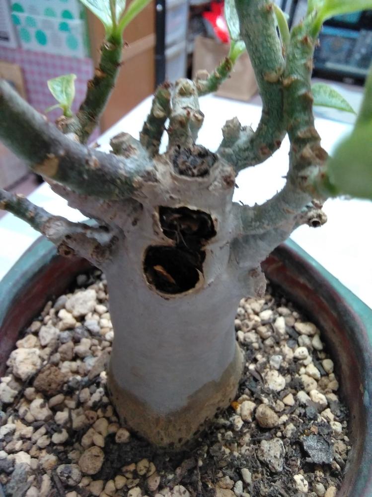 アデニウムに詳しい方、教えて下さい。 アデニウムを購入しました。 買った時には気が付きませんでしたが、枝の一部がブヨブヨで折れてしまいました。幹には黒く穴が空きましたが、周りを触ってみると固いです。折れた2本以外の枝はどんどん葉が出てきて元気そうです。 先日植え替えた際は根本もしっかりしていました。水は10日ほど前にあげたきりです。 この状態で殺菌剤を傷口にまぶして大丈夫でしょうか? 黒い部分を取る方がいいのかと思いましたが、固いため、幹を持っての作業で圧力が掛かりそうで躊躇しています。 どのように処置すれば最善か教えて頂きければ幸いです。